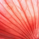 Bakgrundsbelyst rödlöksskal som visar linjer och naturliga mönster